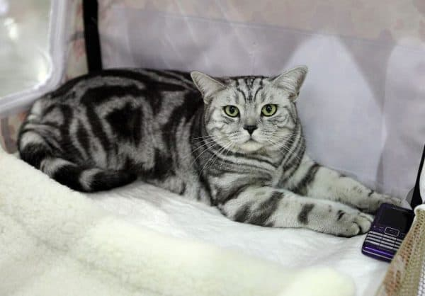 Мраморный окрас кошки