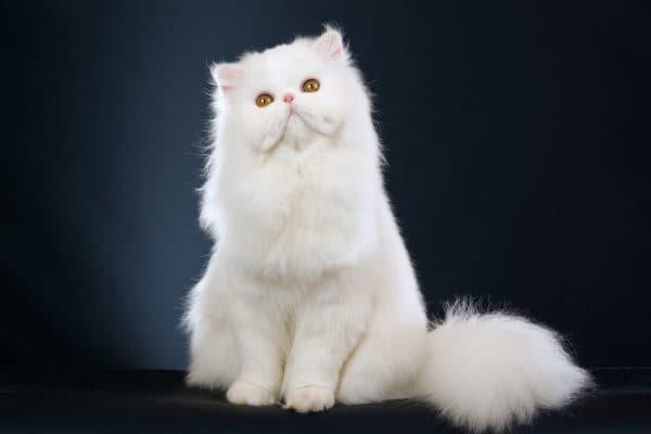 Персидская кошка белая