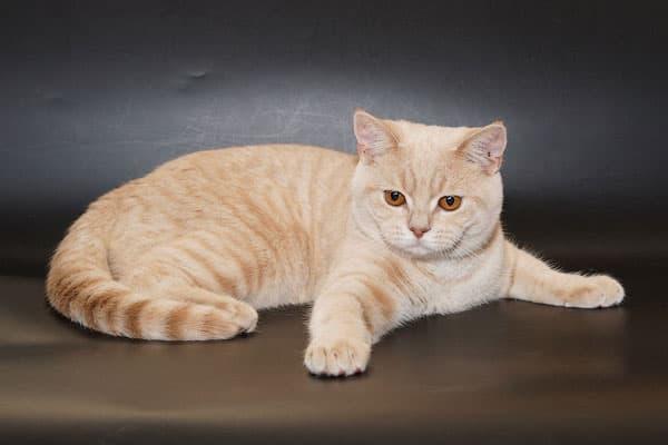 Шотландская кошка табби