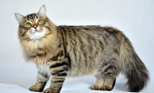 Сибирская кошка табби
