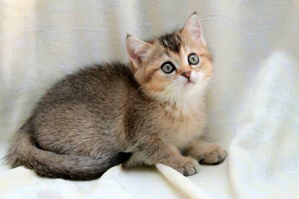 Тикированная расцветка кошки