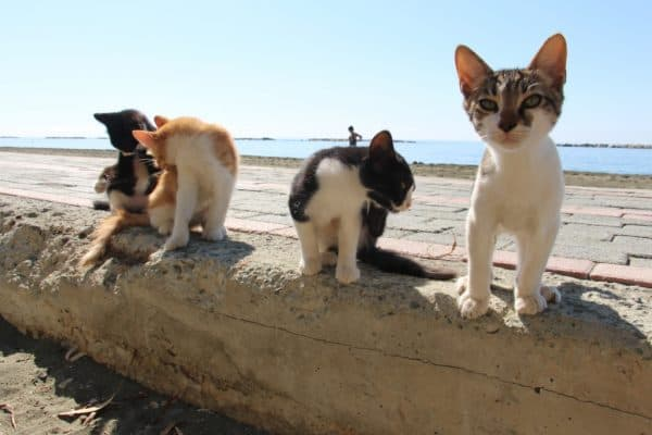 Чем кипрские кошки отличаются от других