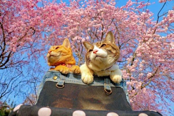 Распространенные японские клички для котов