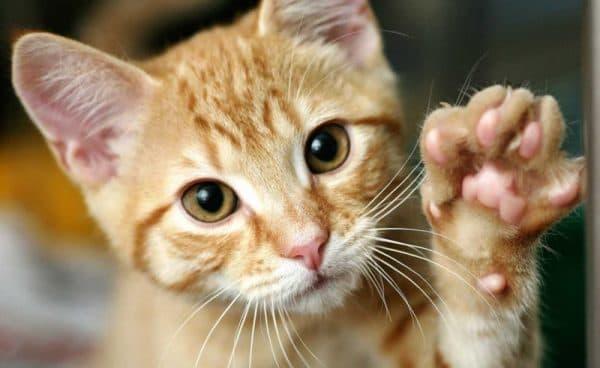 Сколько пальцев у кошки на задних и передних лапах читайте статью