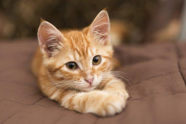 Сон с рыжим котенком что значит