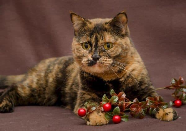 Черепаховая кошка фото