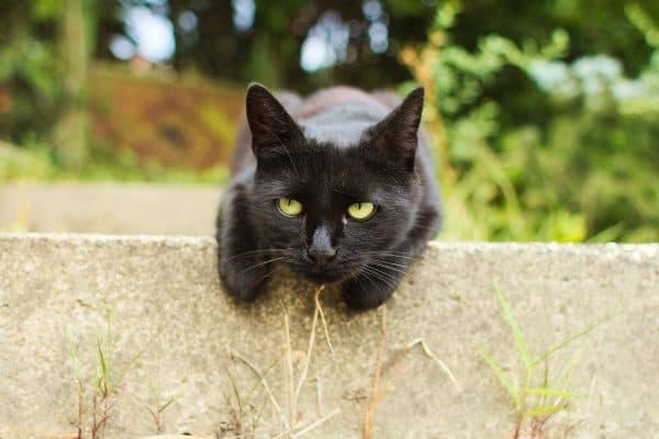 Черная кошка. Приметы и суеверия читайте статью