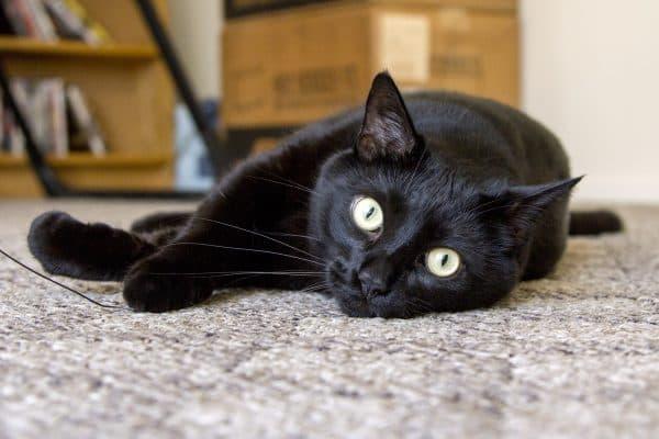 Черная кошка. Приметы и суеверия