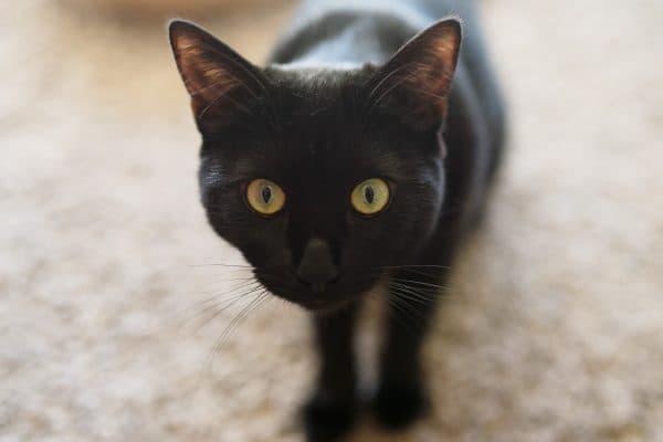 Факты о черных кошках