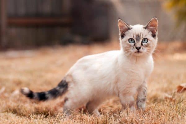 Как классифицируются породы кошек