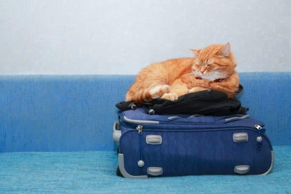 Как перевозить кошек в поезде