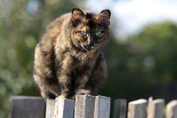 Как получить черепаховый окрас кошки