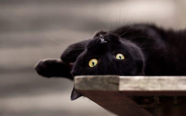 Как вести себя с черной кошкой