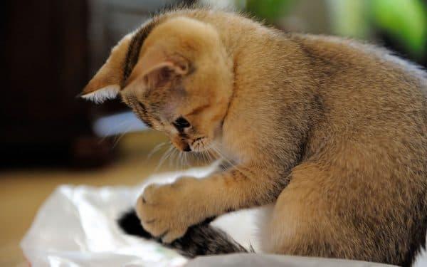 Кошка бегает за своим хвостом