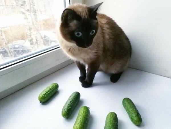 Кошки боятся огурцов узнайте причины