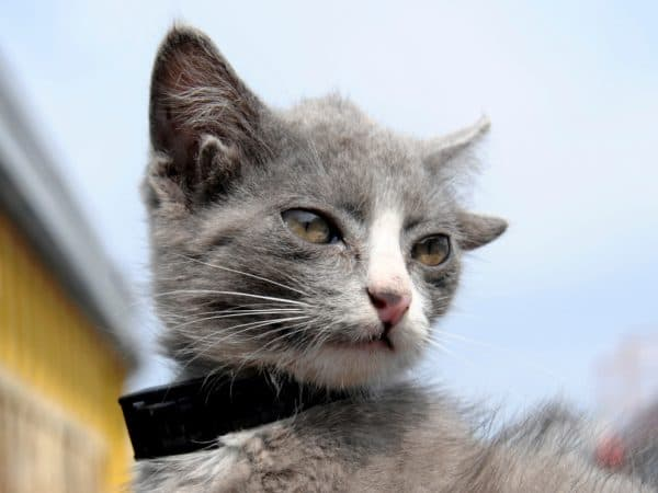 Лунтик четырехухий кот из Владивостока