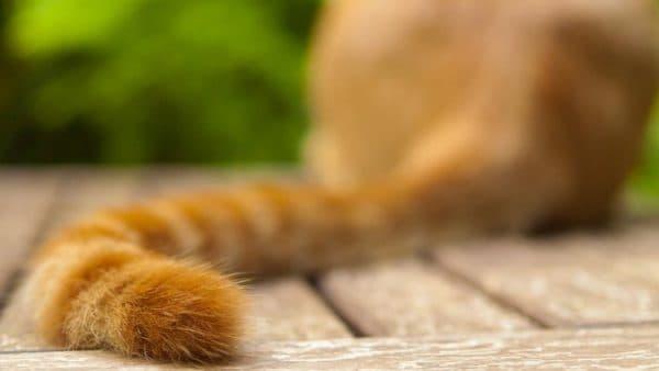 Кошки виляют хвостом почему