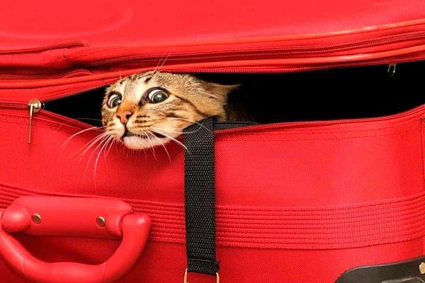 Перевозка кошек в самолете правила