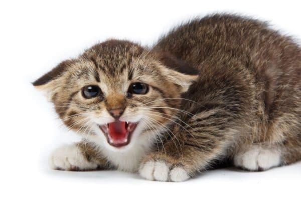 Почему кошка прижимает уши