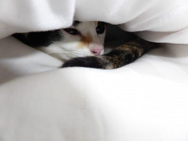 Почему кошка прячется под одеяло. 7 причин
