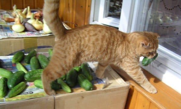 Почему кошки боятся огурцов читайте статью