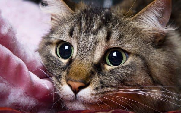 Почему у кошки расширенные зрачки читайте статью