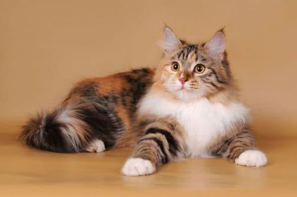 Сибирские кошки с черепаховым окрасом