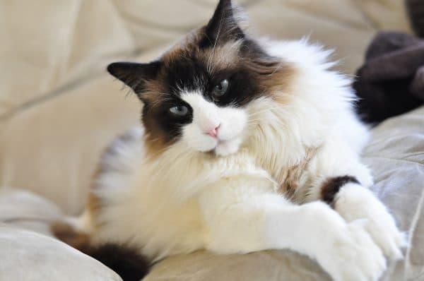 Сколько пород кошек существует в мире читайте статью