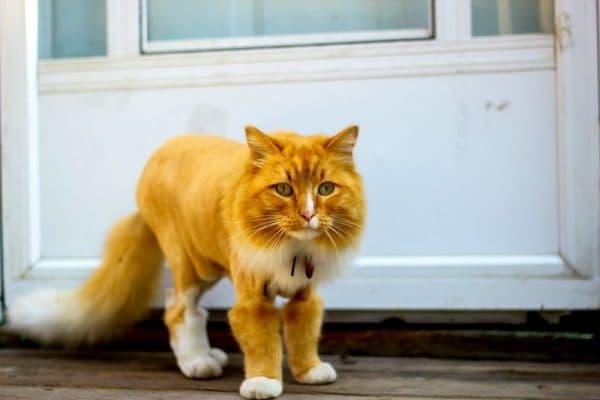 Стрижка пума для котов