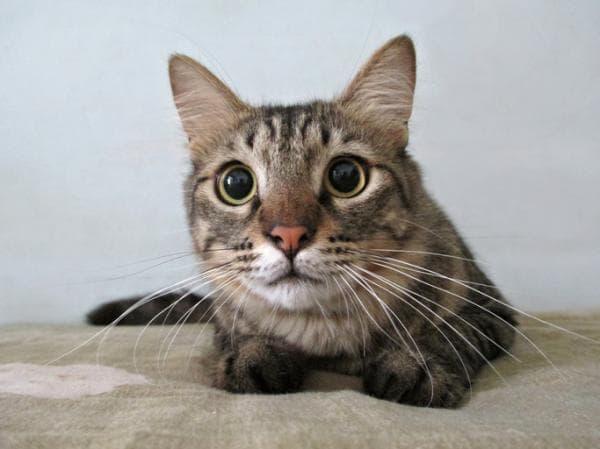 У кошки расширенные зрачки почему