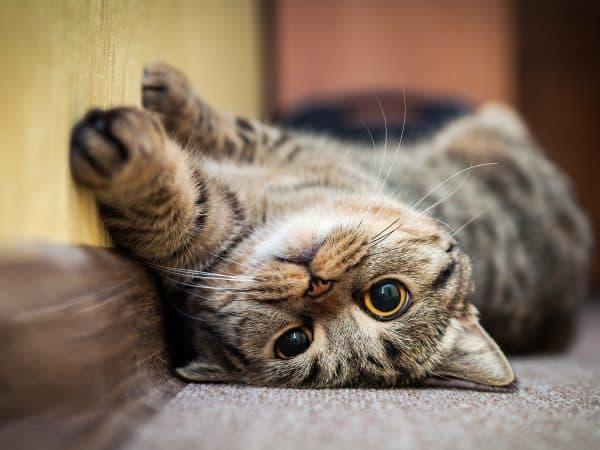 У кошки расширенные зрачки узнайте почему