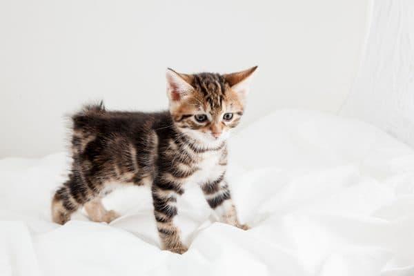 Чем кормить котенка курильского бобтейла читайте статью