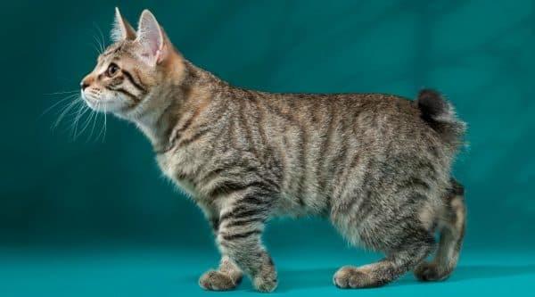 Чем кормить котенка курильского бобтейла