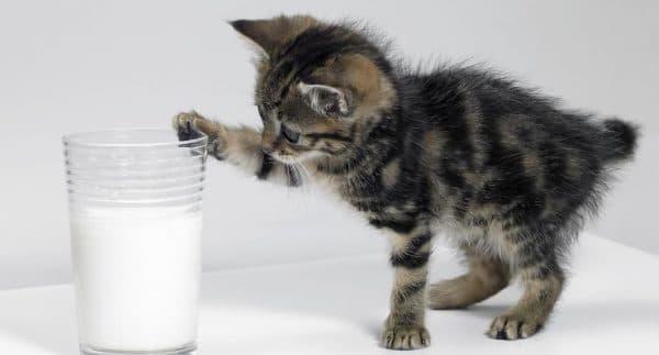 Чем кормить котёнка в 1.5 месяца читайте статью
