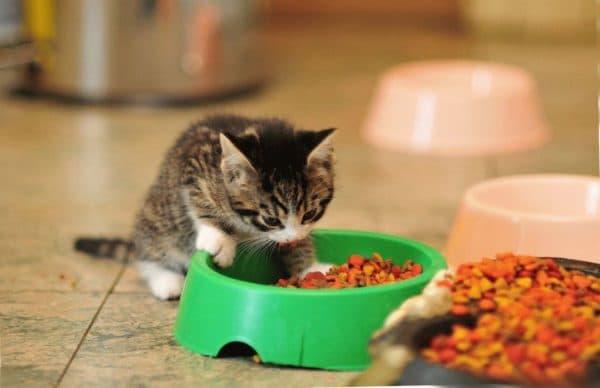 Чем кормить котёнка в 1.5 месяца. Особенности питания, продукты и рекомендации