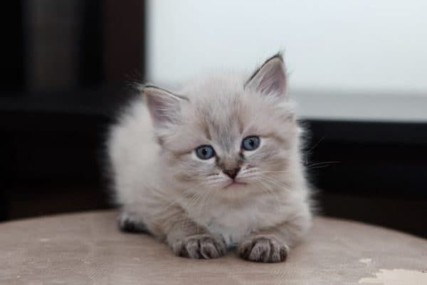 Чем кормить невского маскарадного котенка читайте статью