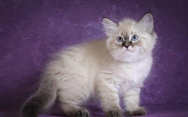 Чем кормить невского маскарадного котенка. Меню по возрастам.