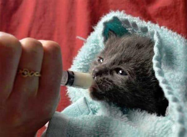 Чем кормить новорожденного котенка без кошки