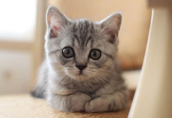 Чем кормить шотландского прямоухого котенка