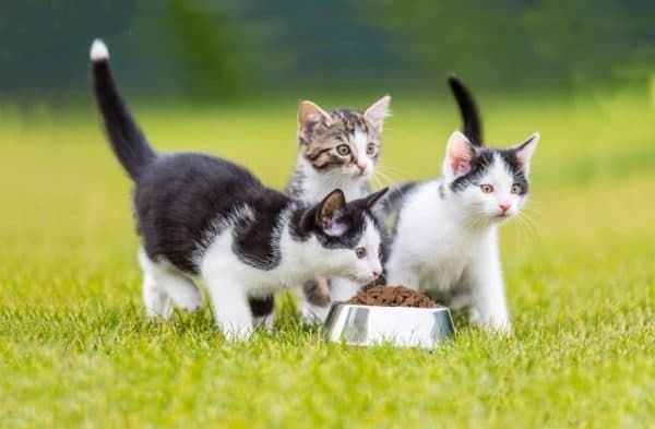Как кормить котенка в 3 месяца сухим кормом