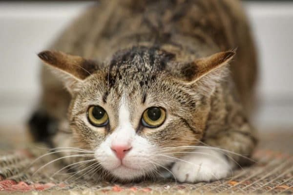 Как кошки выражают свои чувства читайте статью