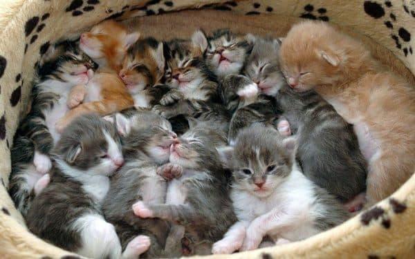 Как пробудить в кошке материнский инстинкт