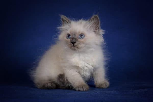 Кормление невского маскарадного котенка