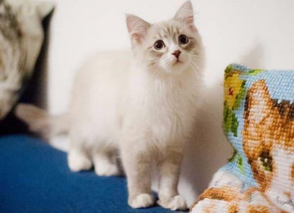 Кормление невского маскарадного котенка читайте статью