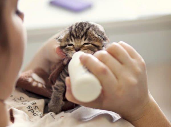 Кормление новорожденного котенка без кошки