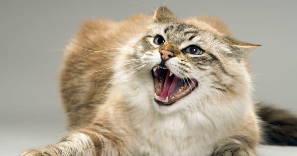 Кошки выражают свои чувства