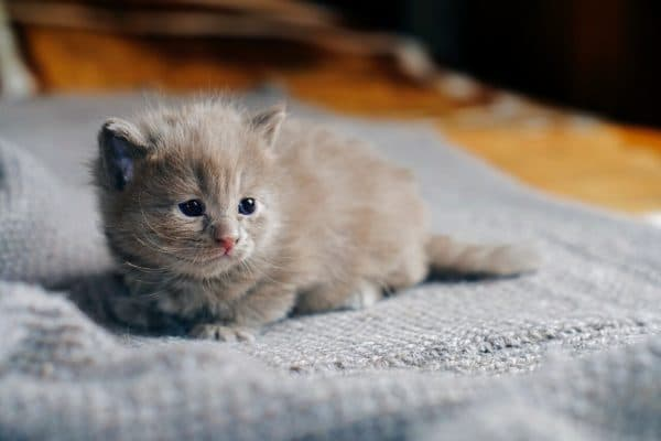 Правила искусственного вскармливания недельного котенка