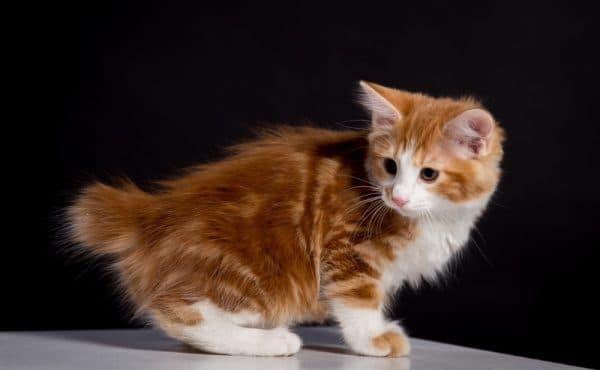 Правильное кормление котенка курильского бобтейла