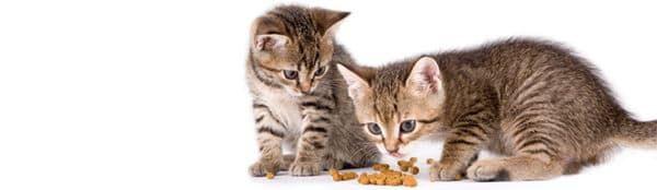 Прикорм котят. С какого возраста подкармливать