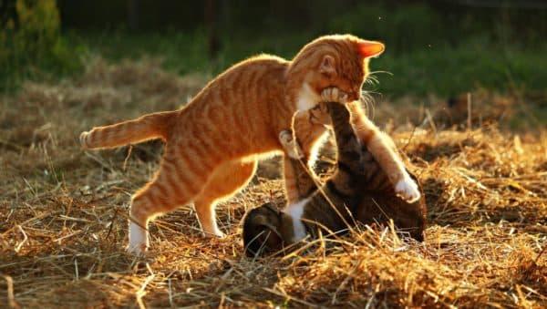 Игра – как проявление инстинктов у кошек